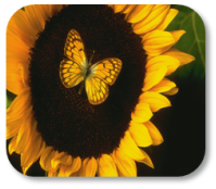 Photograph of sunflower and butterfly